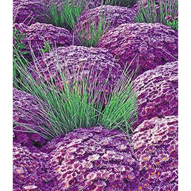 Ziergras Garten kugelaster violett ziergras azurit 3 pflanzen baldur
