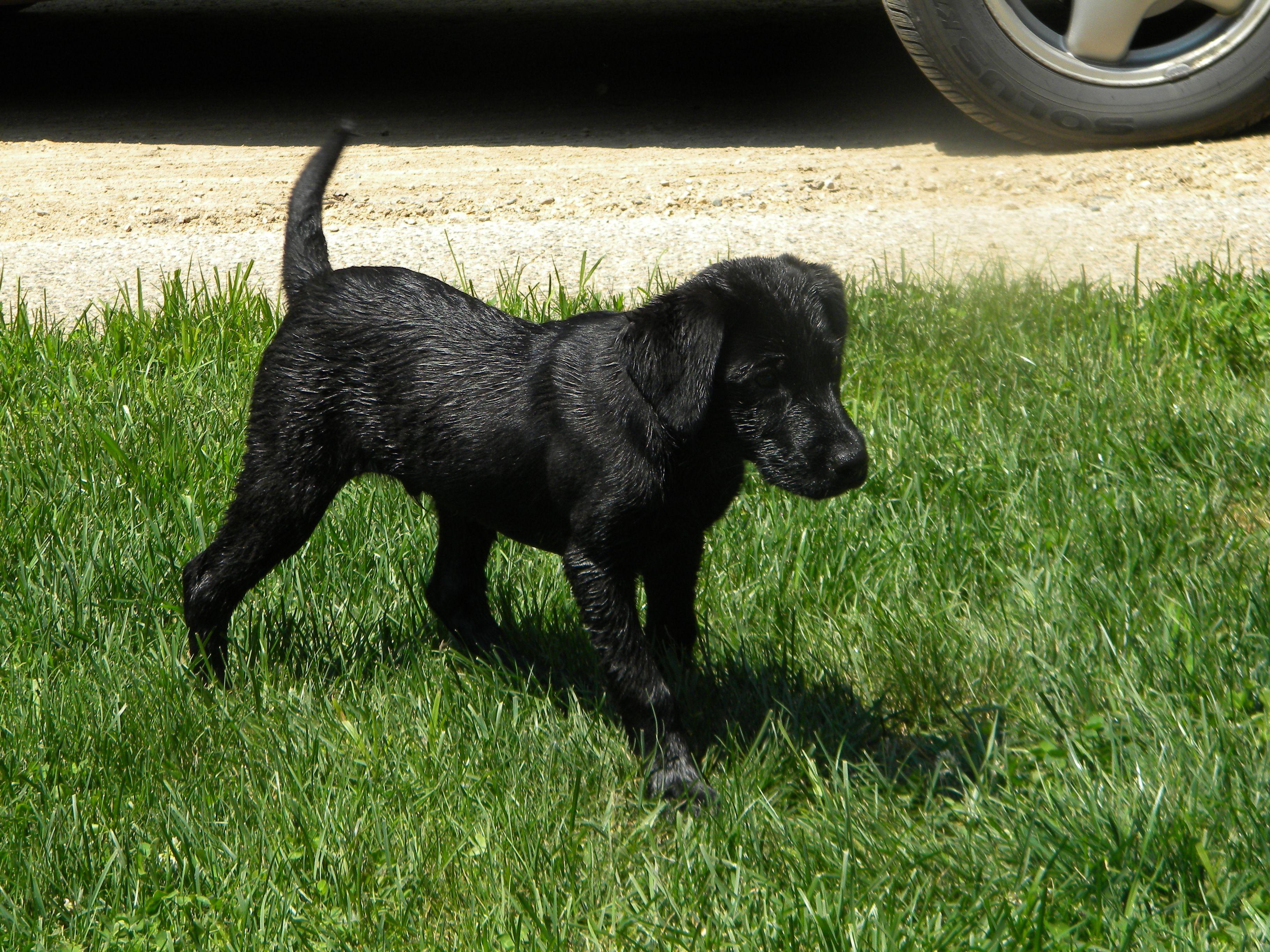 Emmett Is A British Black Lab Dog Lovers I Love Dogs Cute Puppies