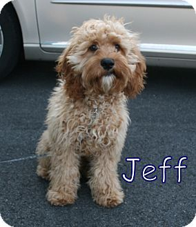 Jeff! Breed Cockapoo/Goldendoodle Mix Color Tan/Yellow