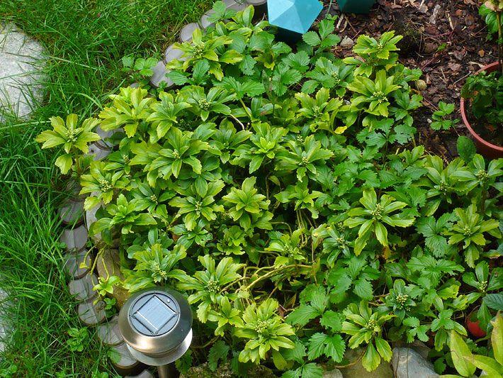 Immergrüne Pflanzen Für Schattige Plätze foto verschiedener bodendecker stauden mit solar gartenle