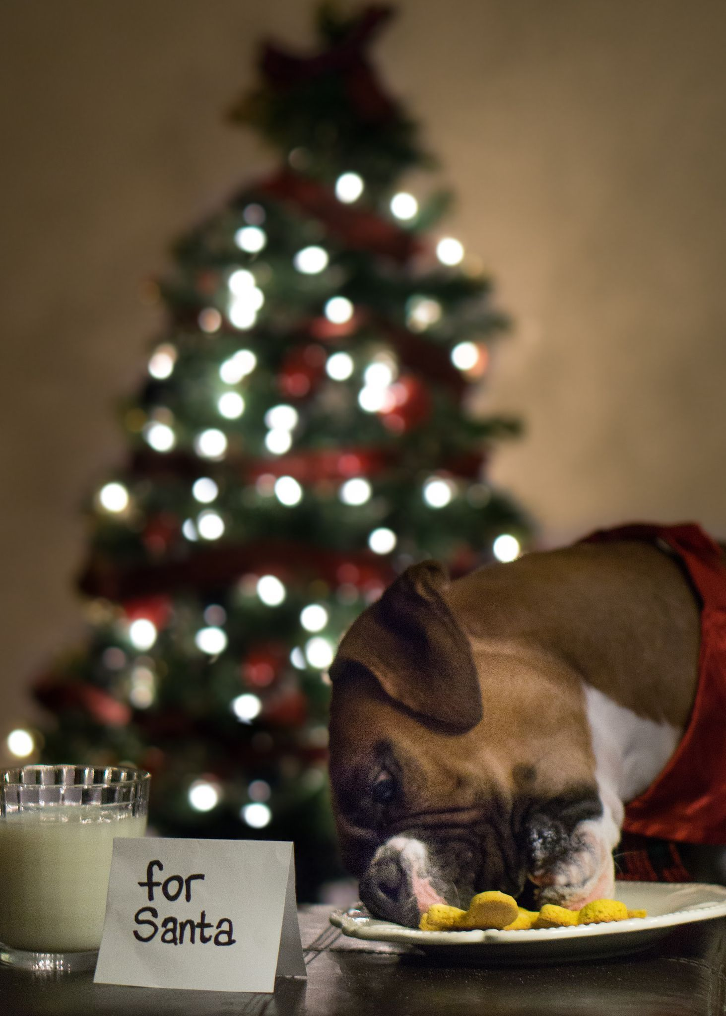 Pin By Celina Carvalho On Fur Baby Christmas Pet Photos Dog Christmas Photos Dog Christmas Pictures