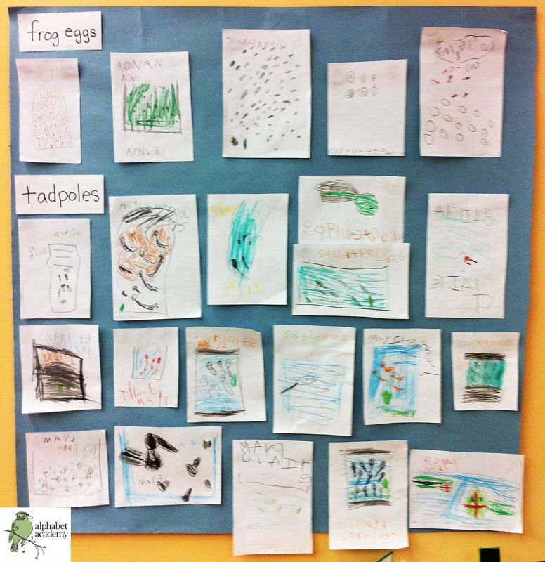This was a part of our Egg-to-Frog Study: As we watched our eggs change into frogs, we tracked the changes by drawing what we saw, dating the drawings and posting them chronologically above the aquarium. — Alphabet Academy North Kindergarten http://thealphabetacademy.com #reggio-inspired #egg #frog #lifecycle #chronological #drawing #study #kindergarten