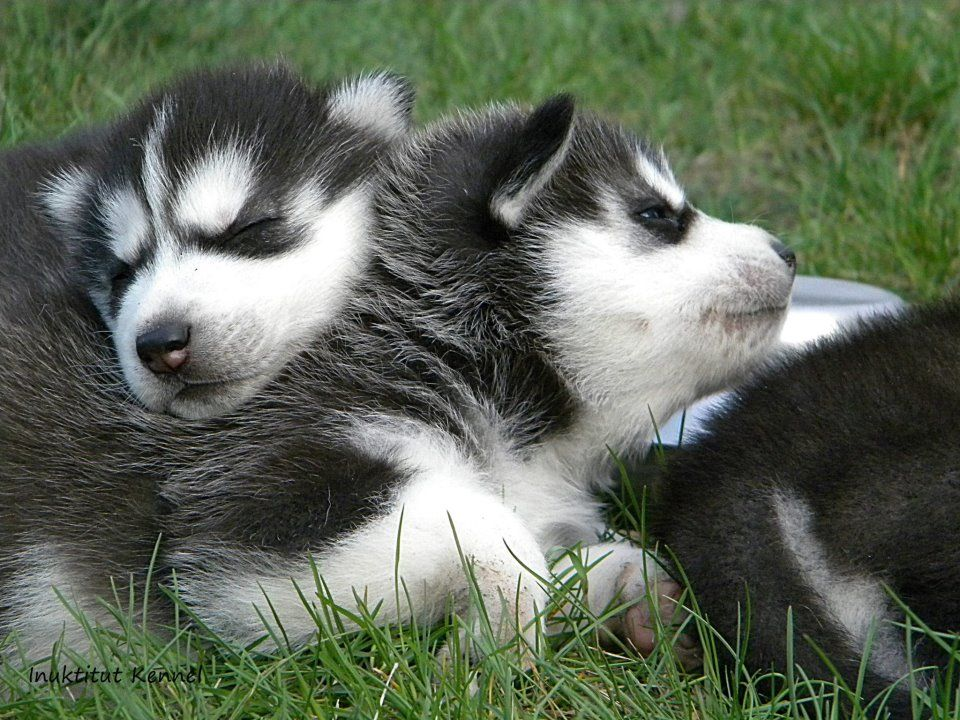 Husky Pup Snuggle Buddies Cute Dogs Puppies Husky Puppy Dogs