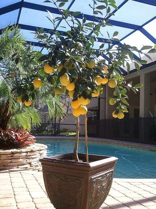 10 Plants That Grow Surprisingly Well In Containers Potted Trees Fruit Trees In Containers Plants