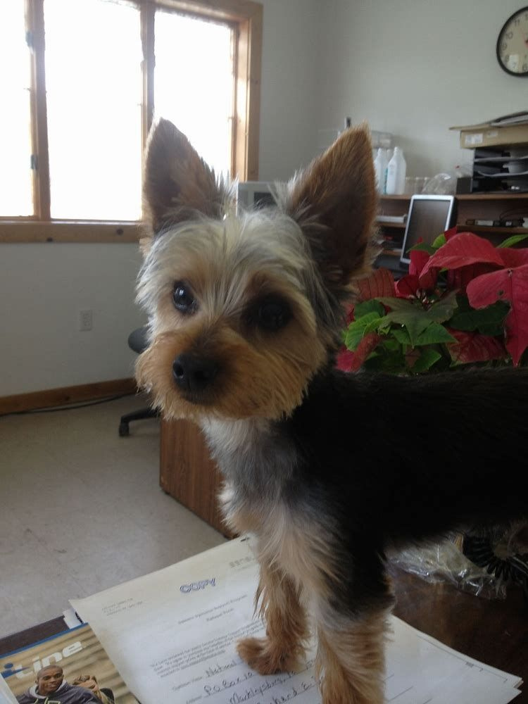 Image Result For Male Yorkie Haircuts Yorkie Yorkie Haircuts Yorkie Dogs