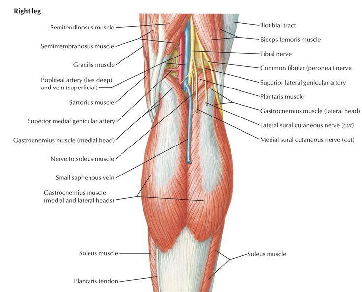 Hueco poplíteo – Que ,es, definición, anatomía, limites | Anatomia ...