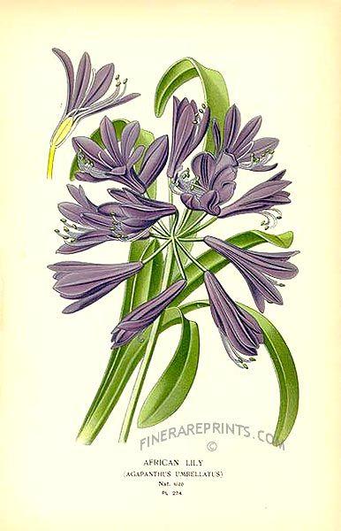 African Lily Agapanthus Umbellatus Botanical Art Prints Botanical Art Lilies Drawing