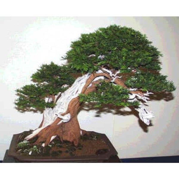 Taxus Baccata Seeds English Yew Seeds Easy Plants To Grow Bonsai Seeds Easy Plants