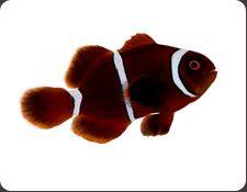Aquacultured Clownfish Ora Oceans Reefs Aquariums Clown Fish Mandarin Fish Cute Fish