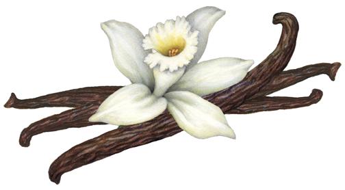 Vanilla Orchid With Three Vanilla Beans Herbs Illustration Stock Art Illustration Art