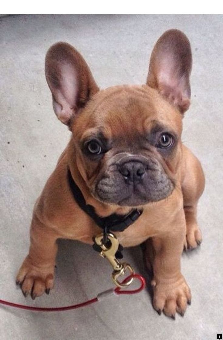 French Bulldog Fan Page (Frenchies_Rule) Twitter Cute
