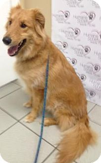 Tampa Fl Sheltie Shetland Sheepdog Golden Retriever Mix Meet