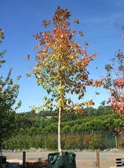 Acer Negundo Sensation Olinda Nurseries Melbourne Trees