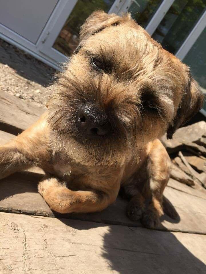 Jack Fudge Boarder Terrier Brown Dog Border Terrier Terrier
