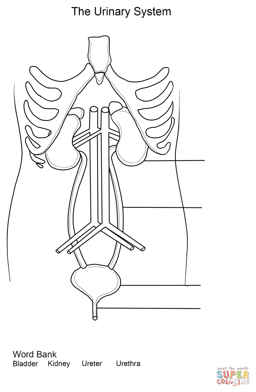 Urinary System Worksheet coloring page from Anatomy category. Select from  29755 printable crafts of c…   Excretory system [ 1374 x 899 Pixel ]