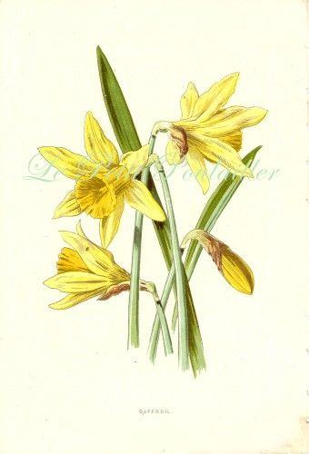 Vintage Daffodil Botanical Google Search Botanical