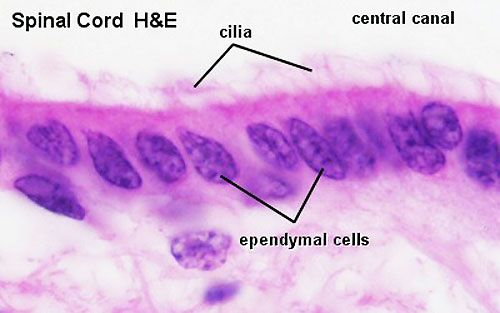 Spinal Cord Histology And Ependymal Cells Histology