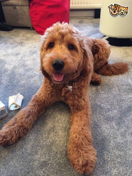 Red F1 Goldendoodle Puppies Ready Now Goldendoodle Puppies Red