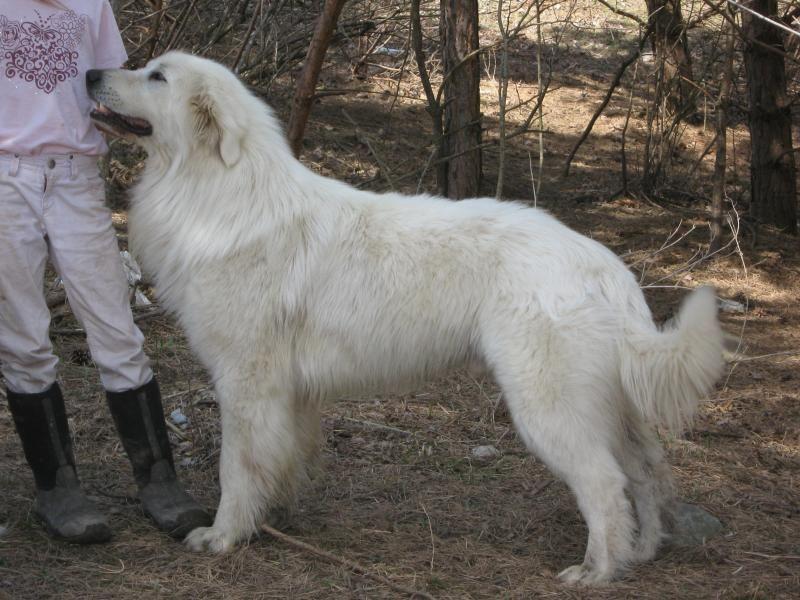 Maremma Livestock Guardians In Upstate Ny Crunchy Living Dogs