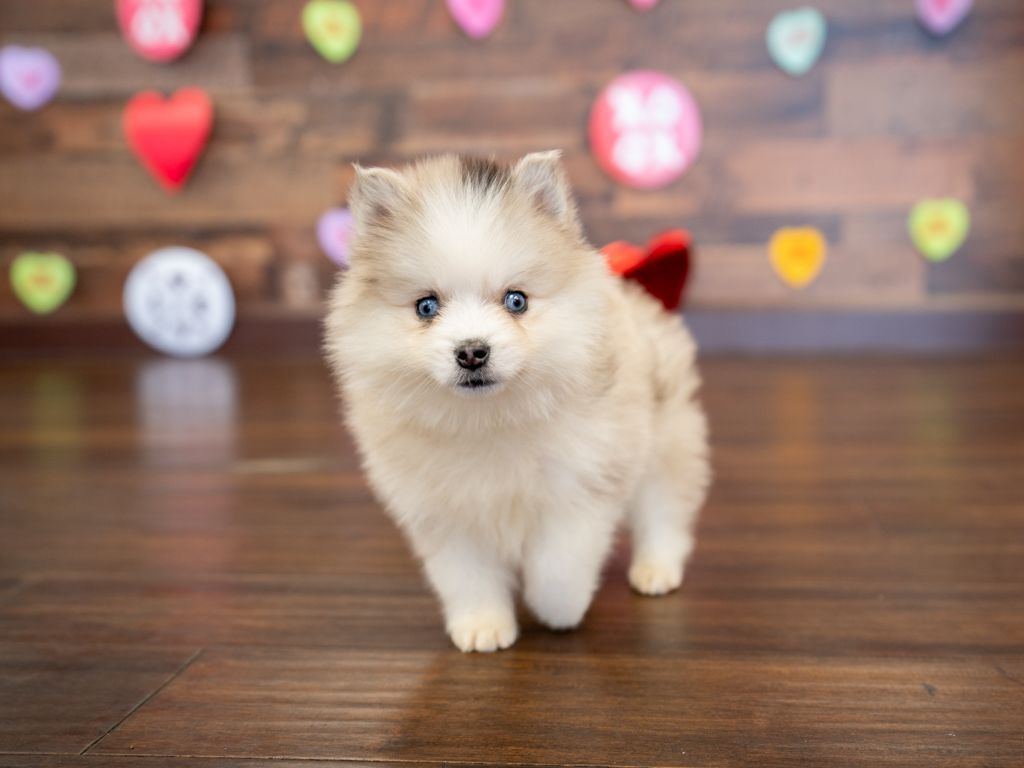 Puppies for sale puppies pomsky puppies dog lovers