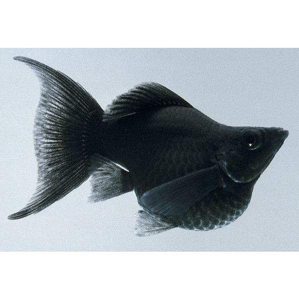 Dkimages discover animals black balloon molly for Molly fish for sale