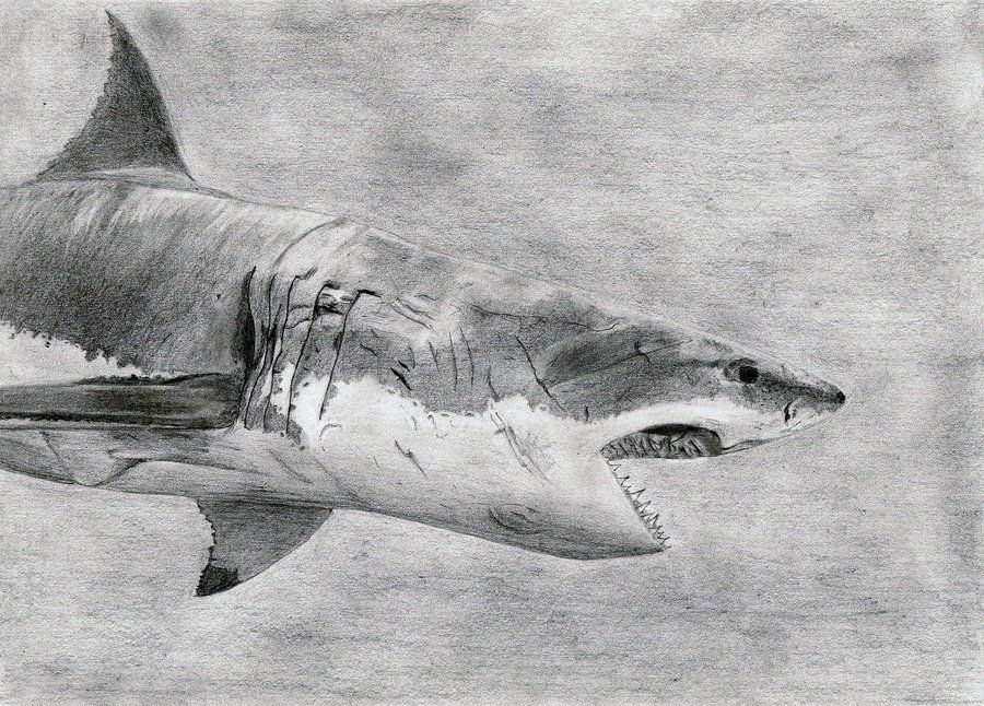 Great White Shark Drawing Great White Sha...