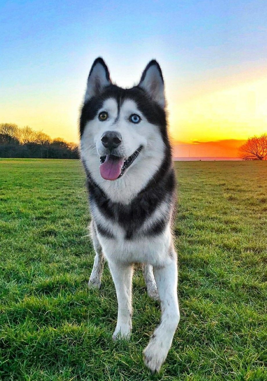 Pin About Husky Husky Puppy And My Husky On Dogs And Cats Mostly
