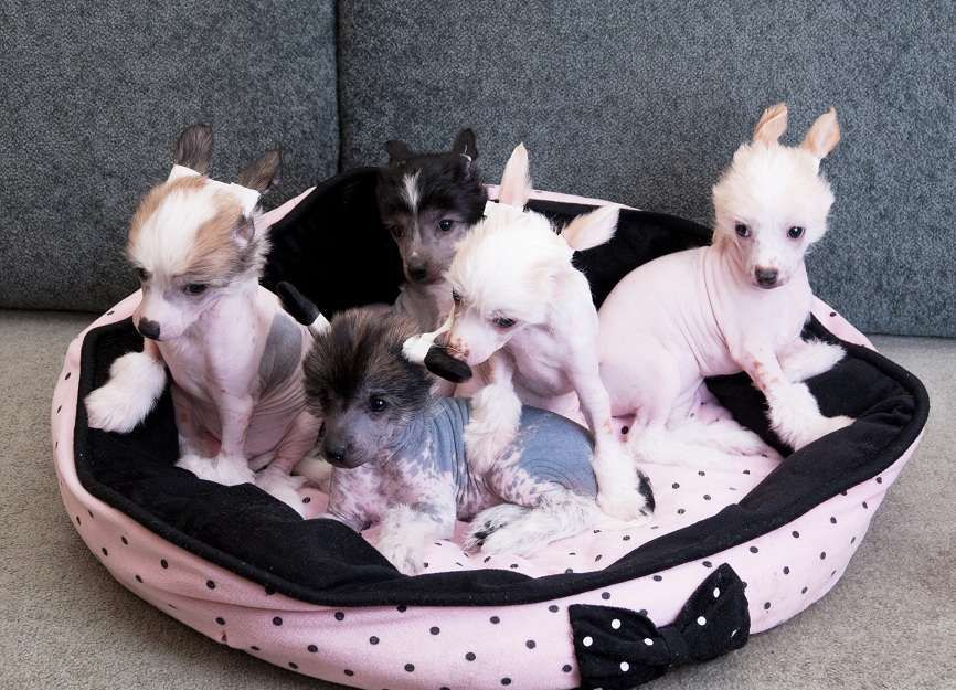 chinese crested puppy dogs. Omg so cute! They look like ...
