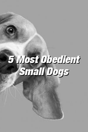 Vanessa Churchill Tells About 5 Most Obedient Small Dogs #dogsdiys#doghome#dogdog#dogideasforthehome#dogs#cutedogs#doglife