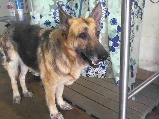 Founddog 10 31 13 Orlando Fl Id A278652 10 Year Old Gsd Female