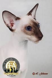 Wedge Head Siamese Cat Pictures Google Search Siamese Cats