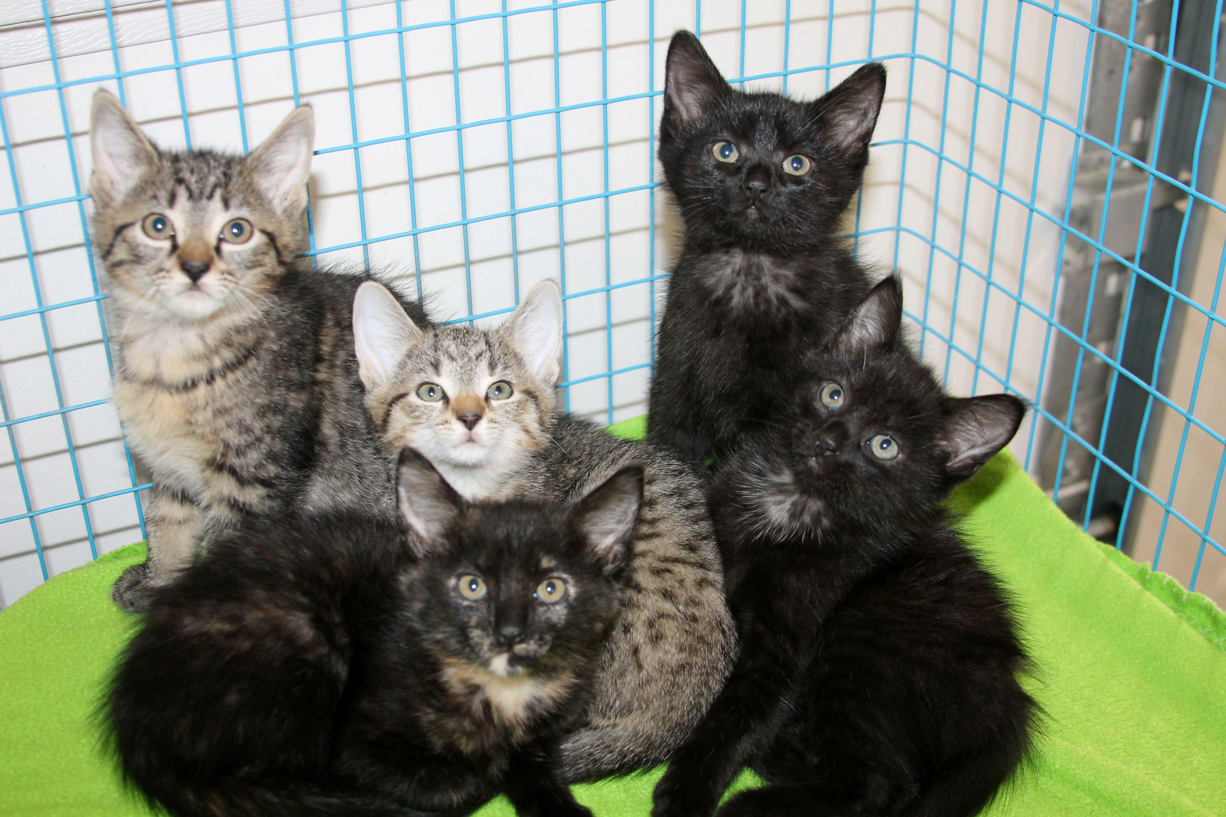 kit & kaboodle Kittens, Humane society, Animals