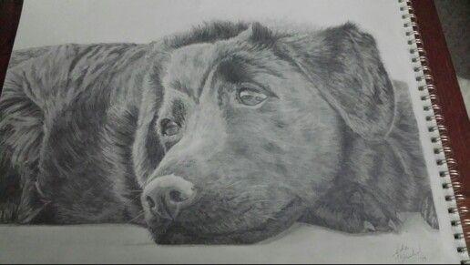 Black Labrador~ Julia Blanchard 1/2014 14 x 17 Graphite Pencil