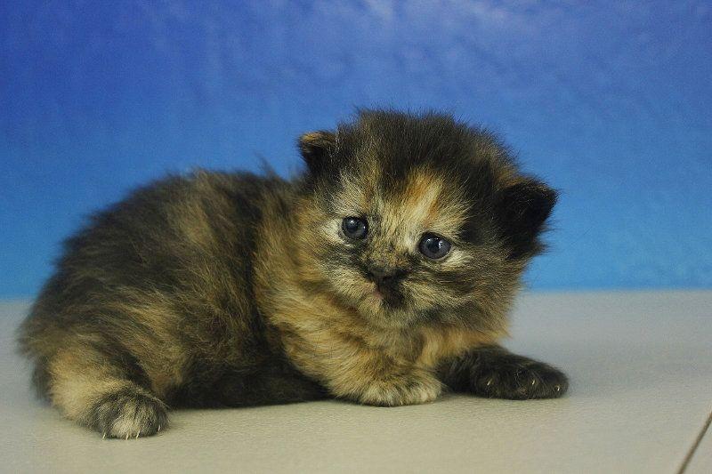 Gemma Calico Solid Female Ragdoll Kitten Ragdoll Kitten