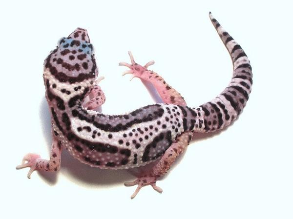 Mack Snow Leopard Gecko For Sale Online Baby Mack Snow Leopard Geckos Mack Snow Leopard Gecko Leopard Gecko Habitat Leopard Gecko