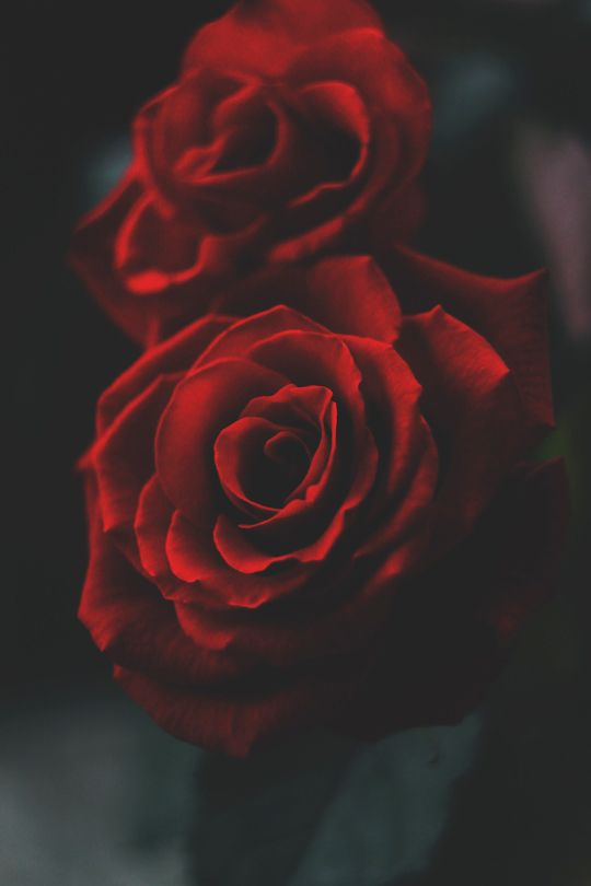 Banshy Red Rose Alina Demchenko Pretty Flowers Pinterest