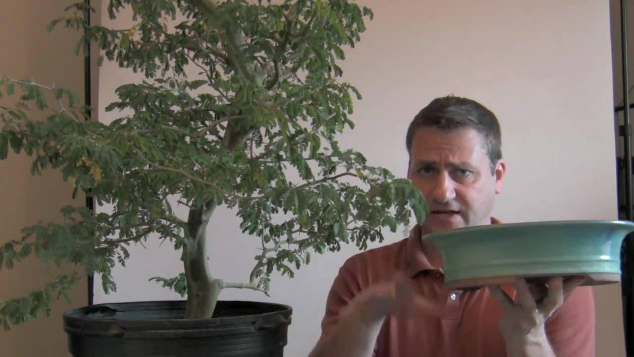 How to Bonsai - Growing Nursery Pot to Bonsai Pot