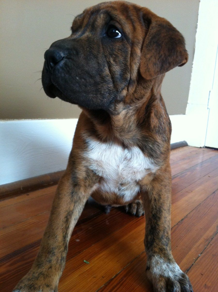 this will be my puppy! a boxashar, boxer, shar pei mix