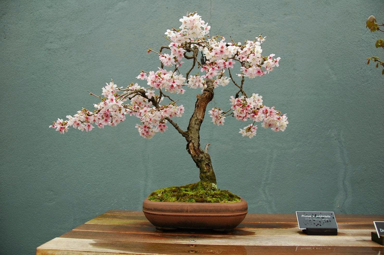Trees Planet Cherry Blossom Japanese Bonsai Tree Bonsai Tree Types Indoor Bonsai Tree