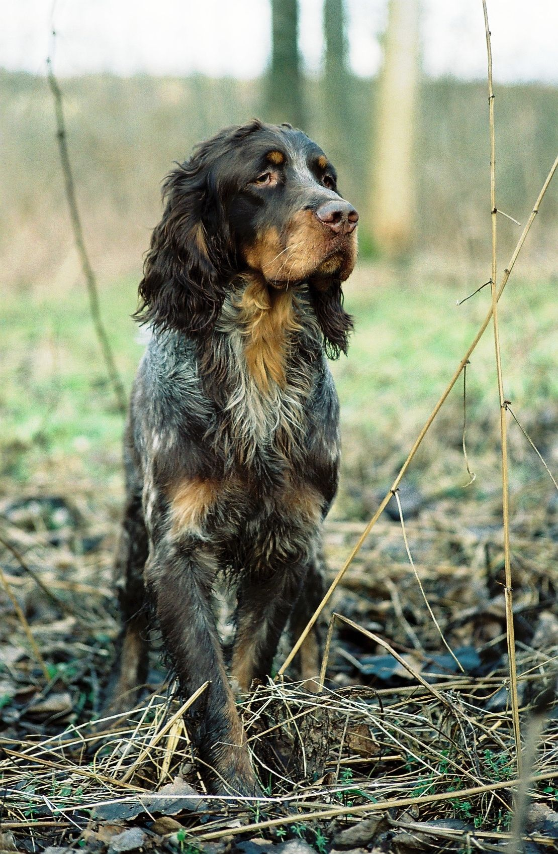 Picardy Spaniel Beautiful Dogs Spaniel Breeds Hunting Dogs