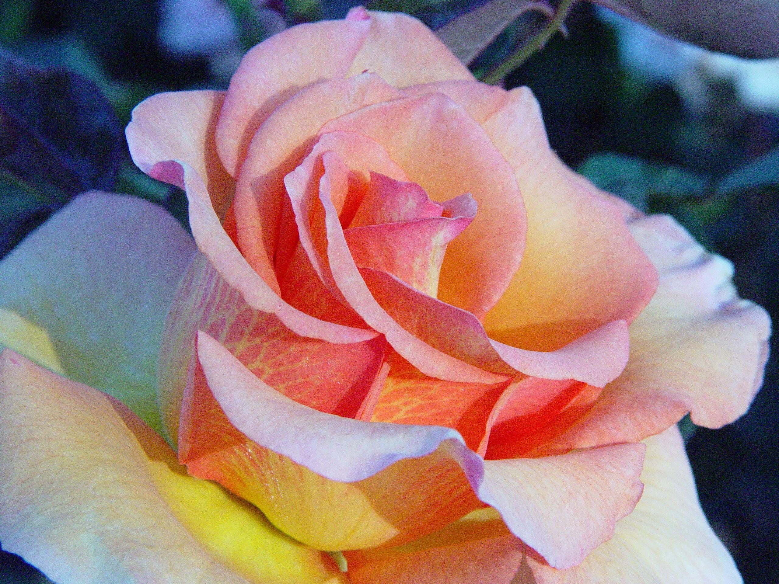 Sunstruck Big Flower Intricately Veined Bit Of A Showstopper In A Vase Rose Big Flowers Rose Fragrance