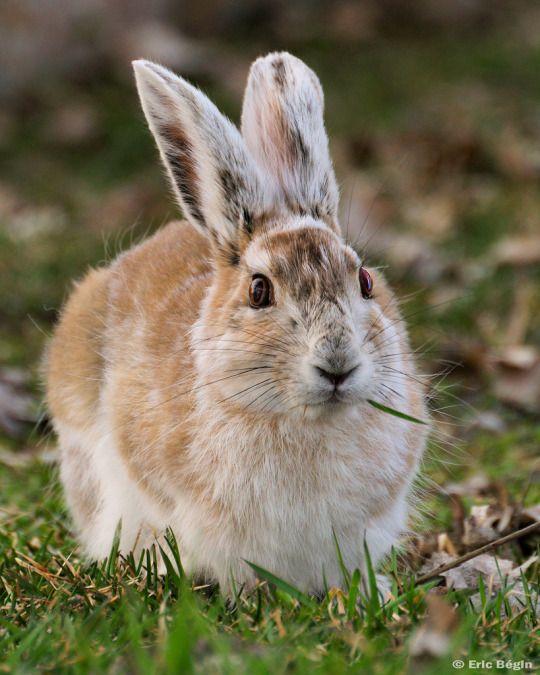 Snowshoe Hare / Lièvre d'Amérique by Eric Bégin Marais de St-Timothée March, Quebec, Canada. 1st of 5. http://flic.kr/p/4GW2cx