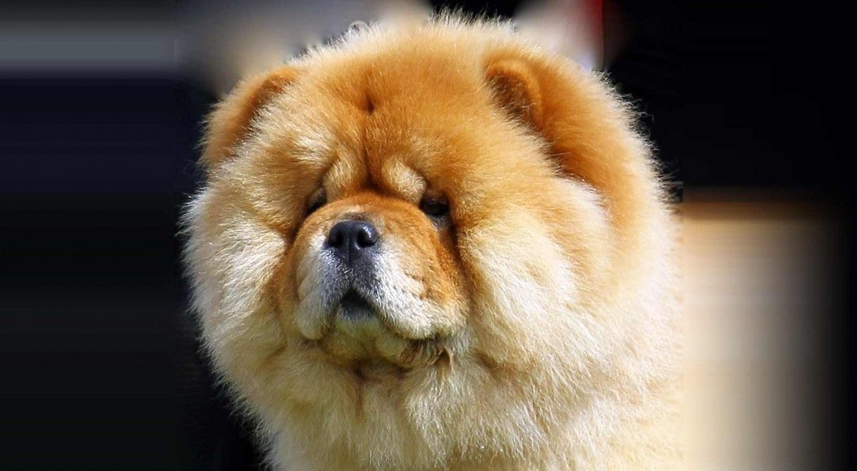 Chow Chow Dog Breed Information Chow Dog Breed Dog Breeds