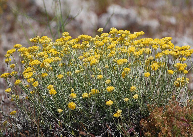 Immortelle commune ou immortelle des dunes plante curry for Plante immortelle