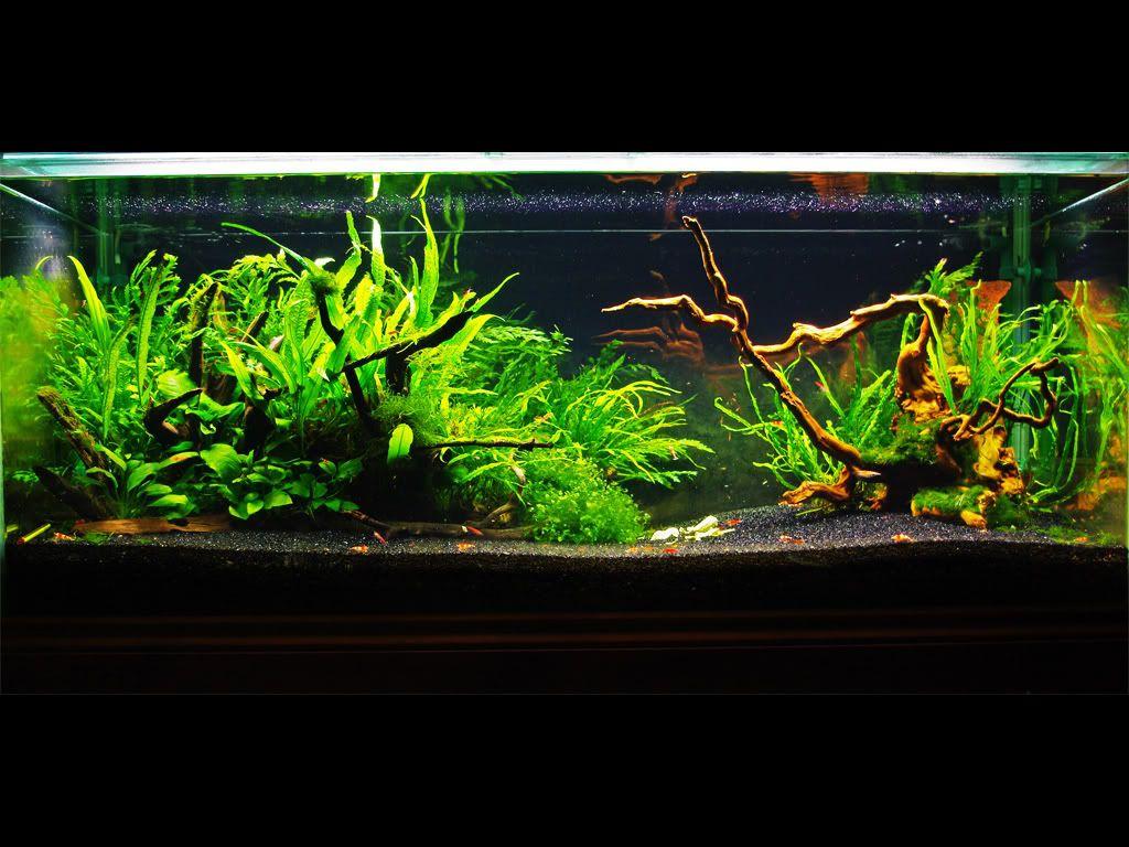 4ft Shrimp Tank Page 2 Shrimp Tank Fish Aquarium Decorations Aquascape