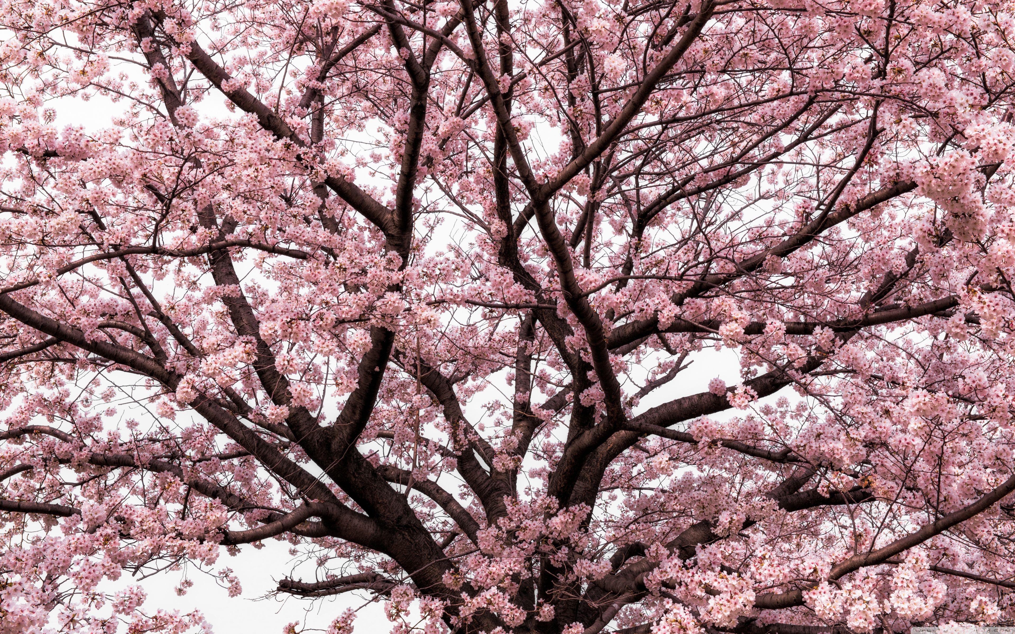 Japanese Cherry Blossom Tree Hd Desktop Wallpaper Widescreen Japanese Cherry Tree Spring Wallpaper Japanese Cherry