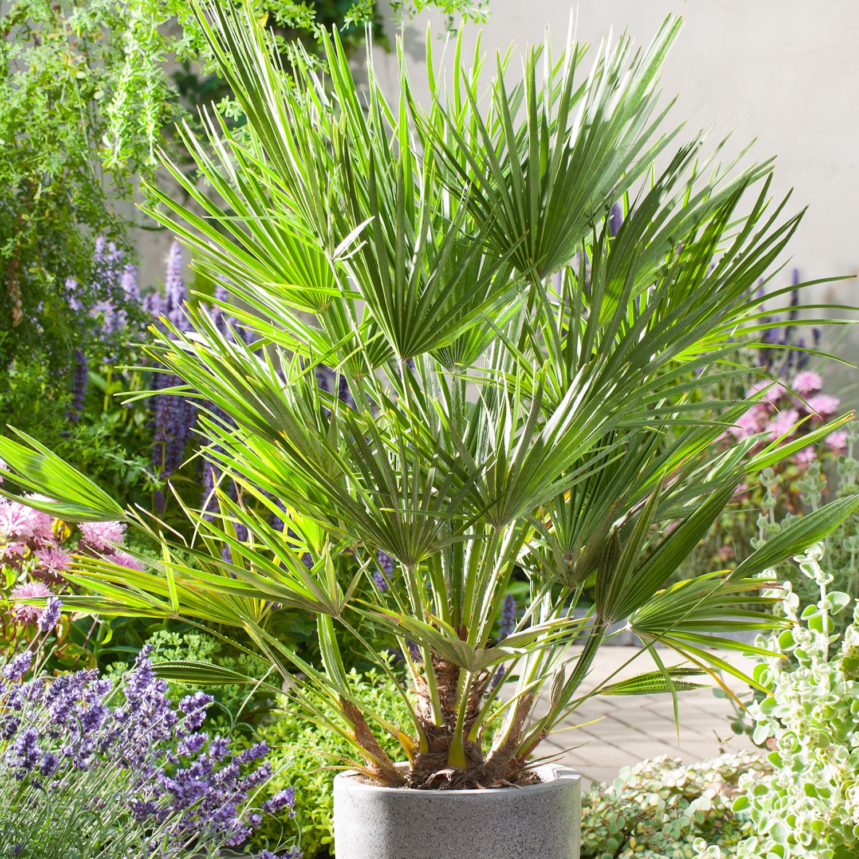 Chamaerops Humilis Dwarf Fan Palm Dobbies Garden Centres