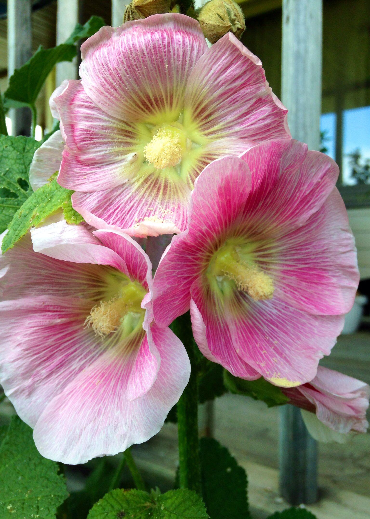 Hollyhocks, such pretty little girls. Beautiful flowers