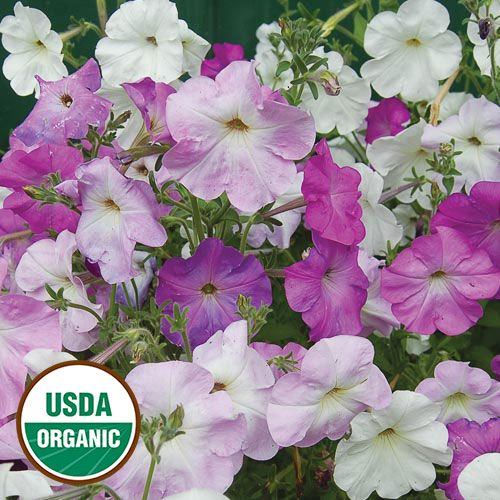 Old Fashioned Vining Petunia Petunias Purple Flowers Garden Petunia Flower