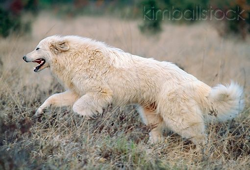Great Pyrenees Running Through Grass Great Pyrenees Top Dog